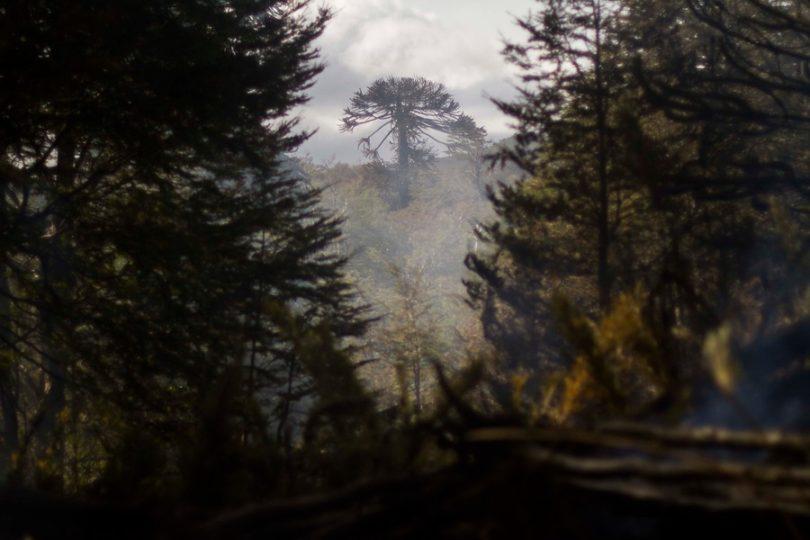 El silencio cómplice del SII y CONAF con las forestales