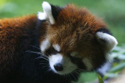 Panda rojo se fuga del zoológico de Santiago