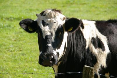 Estudio descubre la clave para que las vacas produzcan más leche