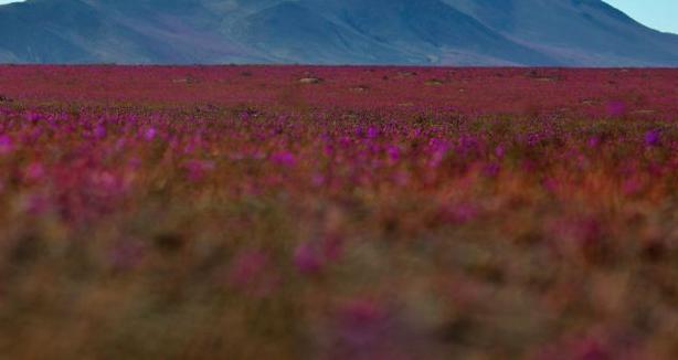 Próximo desierto florido podría ser el más grande de la historia
