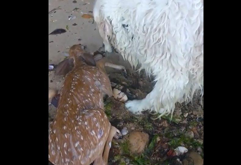 VIDEO | Perro salva a cría de ciervo de ahogarse