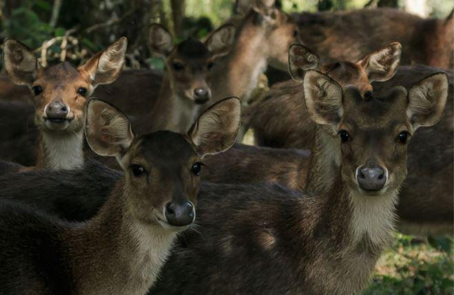 Sacrificarán a 300 ciervos en Brasil por epidemia de tuberculosis