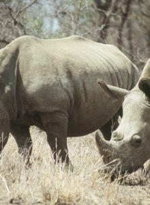 Nace en Chile la primera cría de Rinoceronte Blanco, especie en peligro de extinción