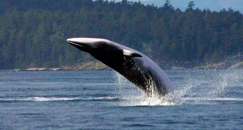 """Japón mata a más de 175 ballenas en el Pacífico y lo justifica """"con fines científicos"""""""