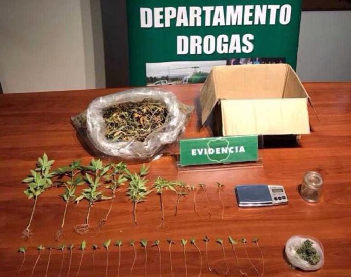 Gran golpe al narcotráfico: Detienen a hombre que denunció robo en su casa por tener plantas de marihuana