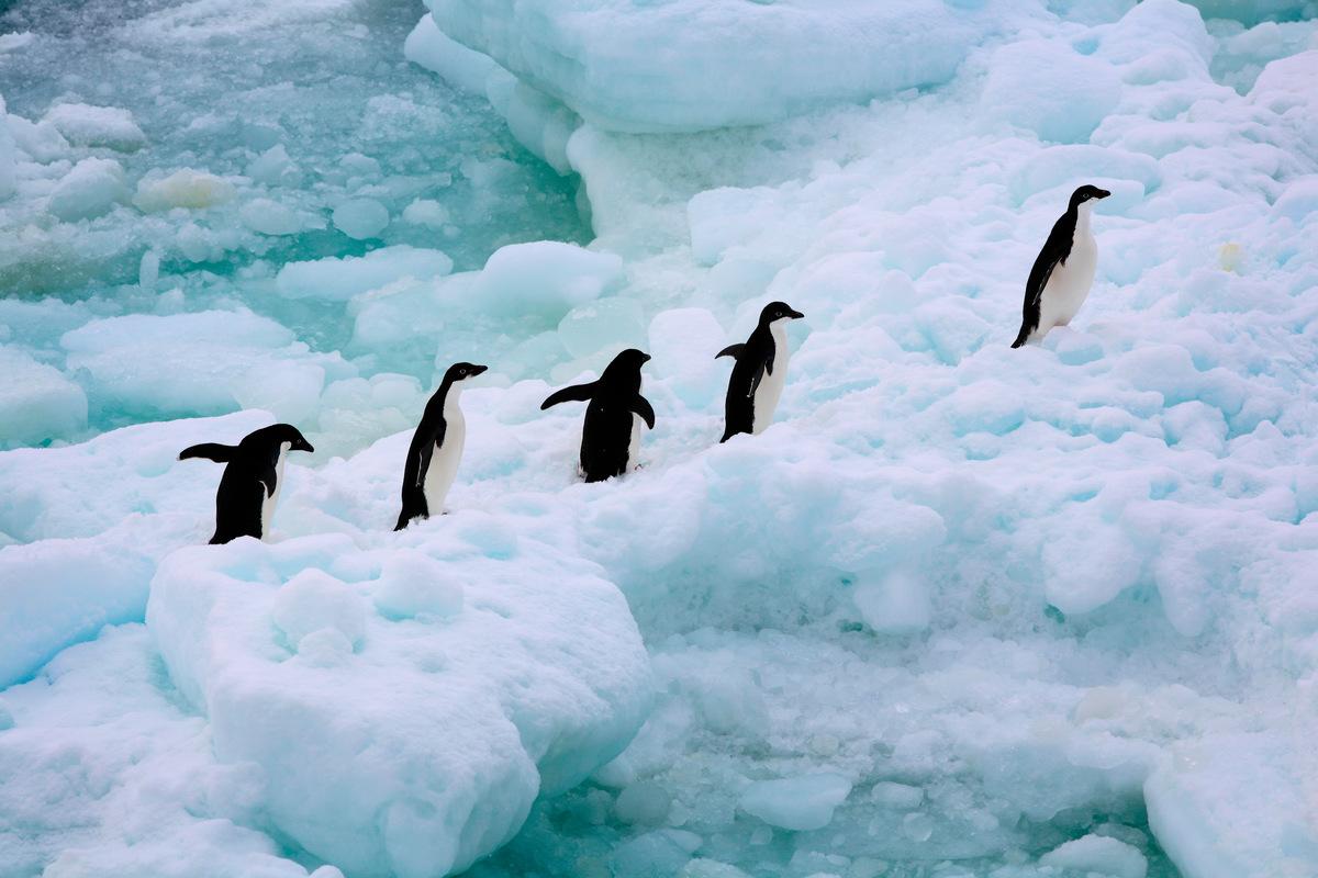 """""""Organismos internacionales piden crear una área de conservación de pingüinos en la Antártica tras masiva muerte"""""""
