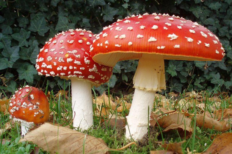 Alcaloide presente en hongos alucinógenos podría ser eficaz antidepresivo