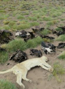 Justicia de Argentina confirma que cóndores muertos fueron envenenados