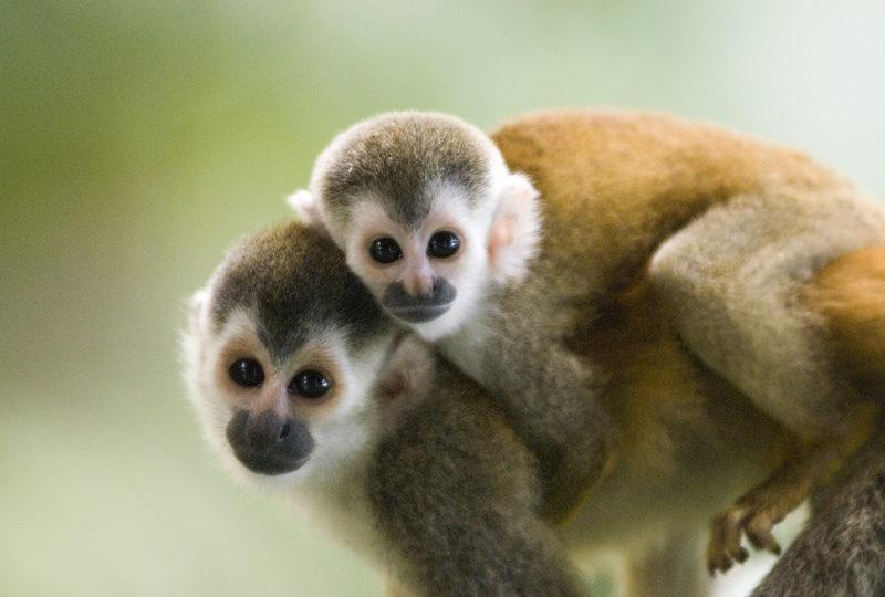 Volkswagen reconoce brutal experimento con monos: los obligó a respirar gases diésel