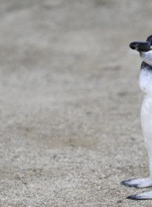 El 70% de los pingüinos rey podría desaparecer por efectos del cambio climático
