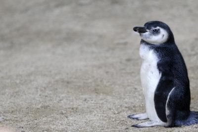 Primer censo nacional de Pingüinos de Humboldt detecta baja en su población
