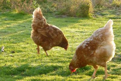 """Francia prohibirá huevos de criadero y solo se permitirán los de """"gallina feliz"""""""