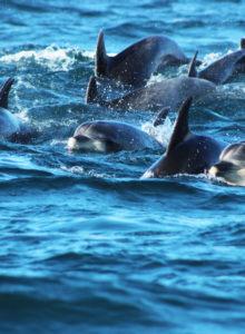 Organizaciones nacionales e internacionales exigen creación de Área Marina Protegida en La Higuera y Punta de Choros