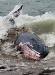 Necropsia de ballena en Talcahuano revela causa de muerte: golpe traumático de embarcación