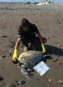 Impacto en Arica por hallazgo de tortugas marinas decapitadas en playas