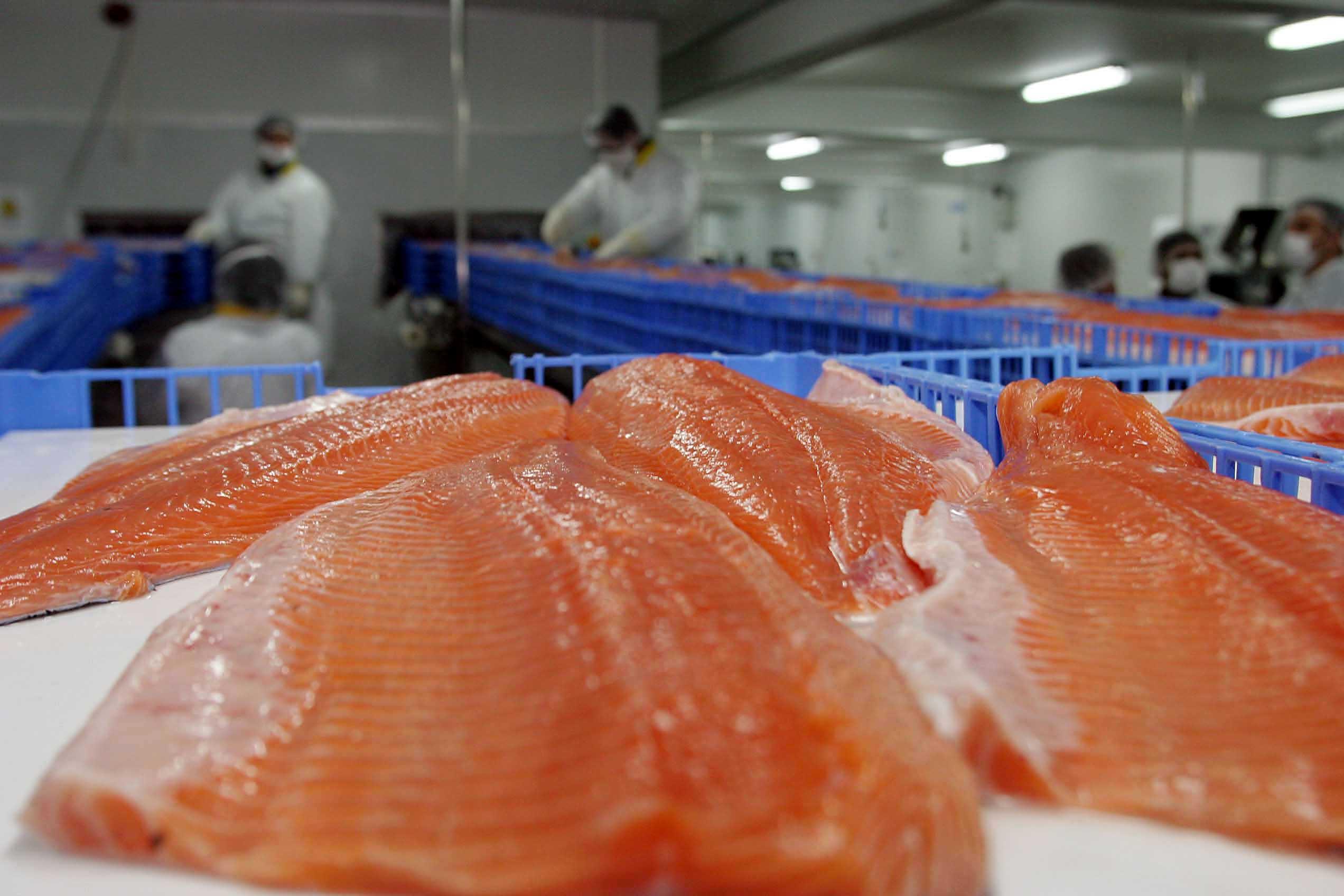 """""""Oceana advierte sobre efectos para la salud humana del uso excesivo de antibióticos en salmones"""""""