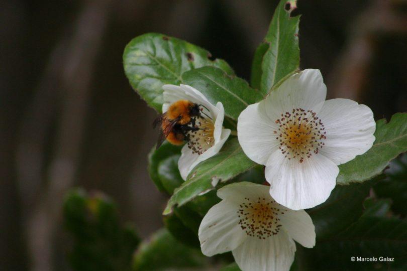 """""""El ocaso de las abejas"""": científicos piden frenar importación de abejorro europeo a Chile"""