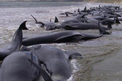 Encuentran a 145 ballenas varadas en playas de Nueva Zelanda