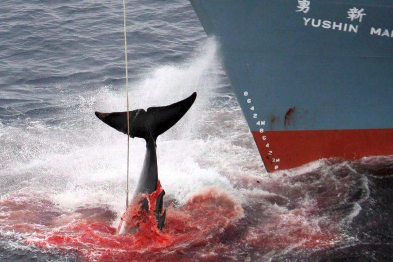 """Otra vez Japón inicia temporada de caza de ballenas con """"fines científicos"""""""