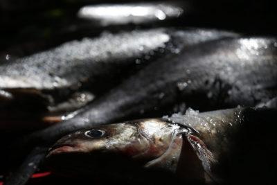 Pescadores de Puerto Montt exigen millonaria indemnización por escape de salmones