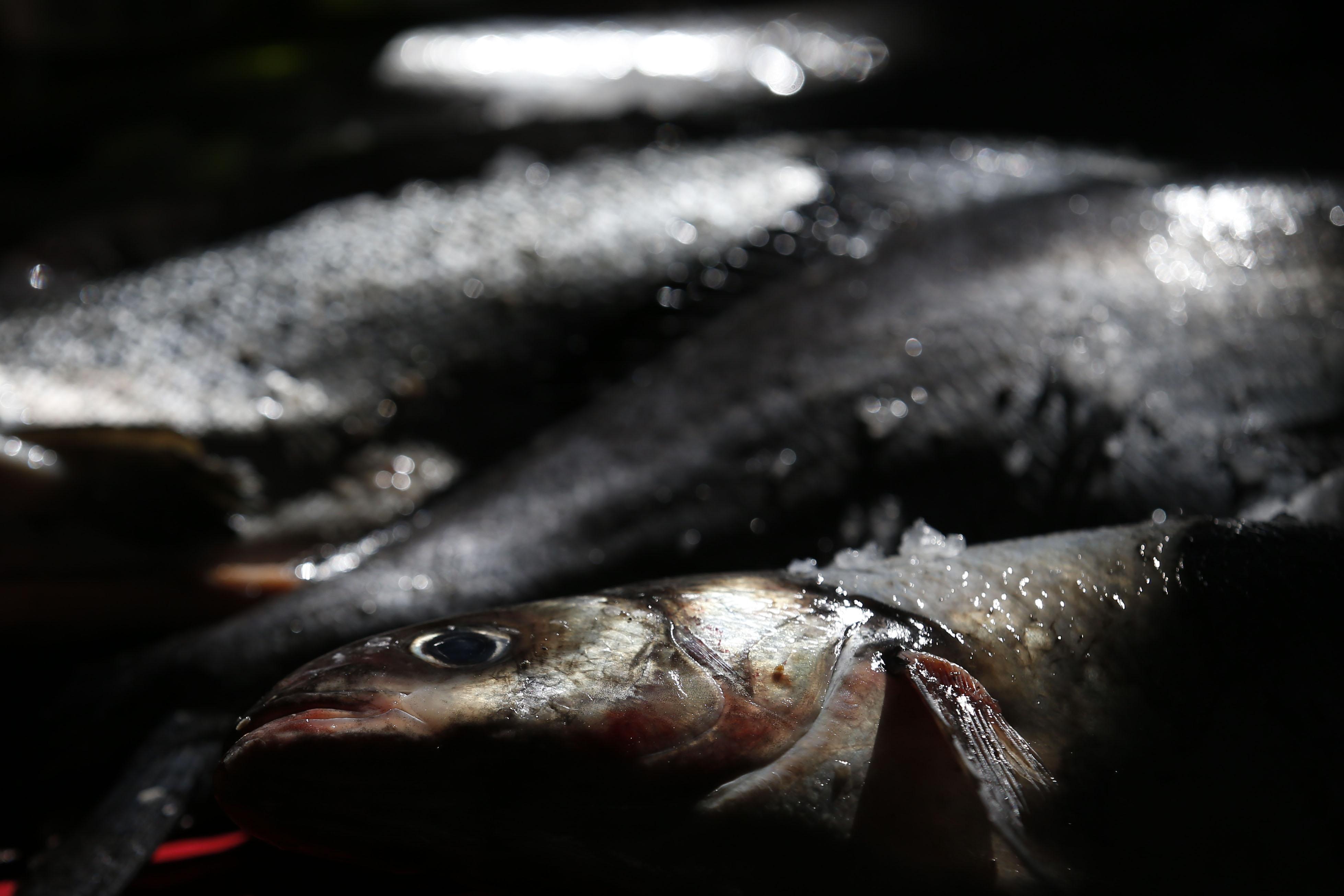 """""""Pescadores de Puerto Montt exigen millonaria indemnización por escape de salmones"""""""