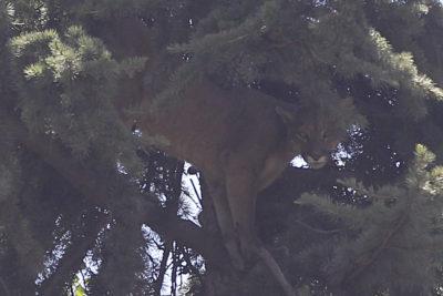 Puma de Lo Barnechea volverá a su hábitat natural cuando se recupere