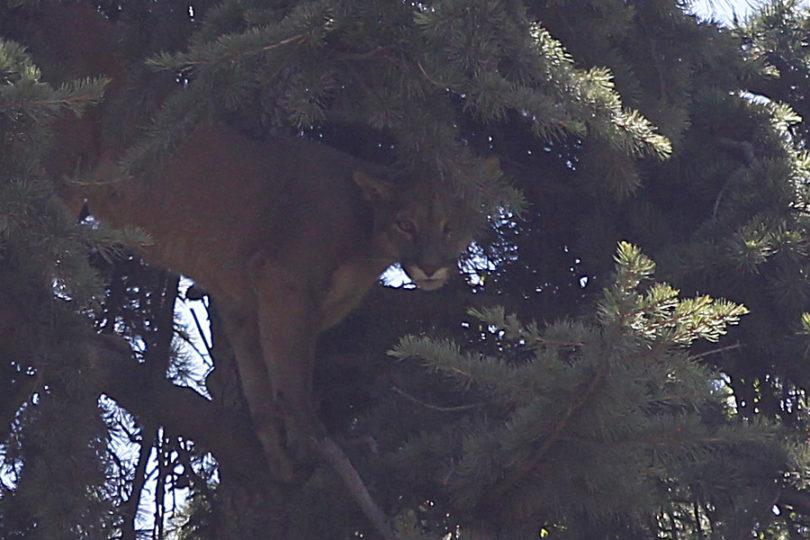 Chicureo: SAG realiza operativo por presencia de puma en un árbol