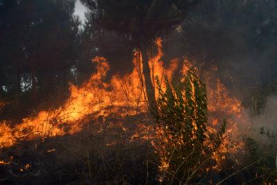 Investigan intencionalidad en incendios forestales simultáneos en el Biobío