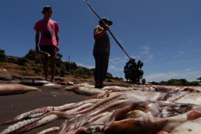 Miles de jibias varan en playas de Bahía Inglesa: Llaman a no consumirla