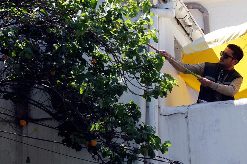 Liberan machos estériles de mosca de la fruta para combatir plaga en la RM