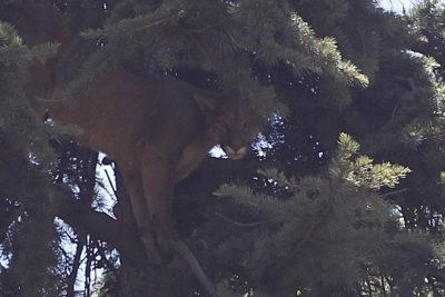 Puma rescatado en Chicureo fue reinsertado en la cordillera
