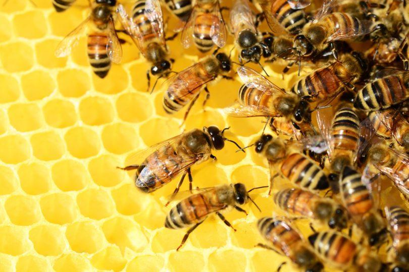 Alertaron de grave enfermedad que amenaza a las abejas chilenas