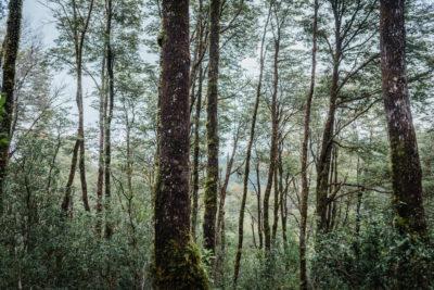Isla del Rey, el desconocido refugio de alerces en Chile