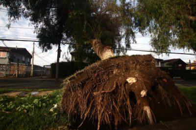 FOTOS | Árbol de 20 metros cuelga sobre cables y amenaza a vivienda en Maipú