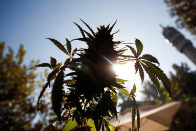 """Colegio Médico rechaza uso medicinal de la marihuana: """"No poseemos respaldo científico"""""""