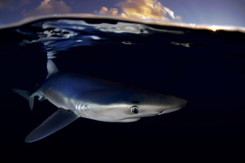 Informe de Greenpeace: El mar se queda sin tiburones