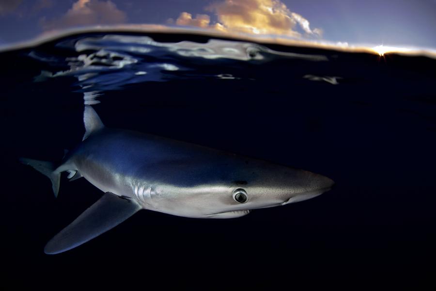 """""""Informe de Greenpeace: El mar se queda sin tiburones"""""""