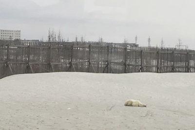 Oso polar hambriento: Caminó más de 1500 kilómetros buscando comida