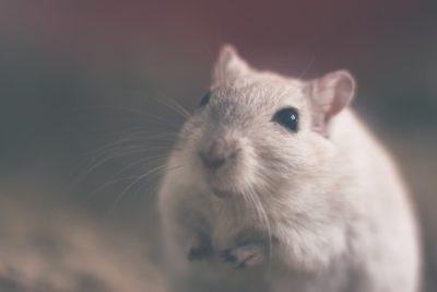 Biobío: prohíben funcionamiento de oficina del Serviu por presencia de roedores