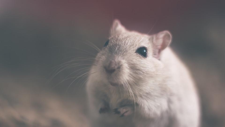 """""""Biobío: prohíben funcionamiento de oficina del Serviu por presencia de roedores"""""""