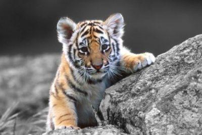 Macabro hallazgo: Encuentran siete tigres congelados en un auto en Vietnam