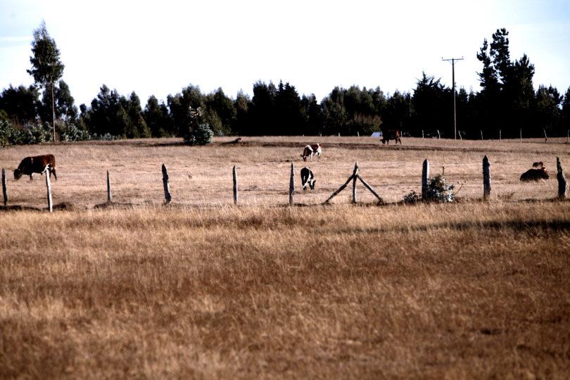 Agricultores y ganaderos preocupados por masiva muerte de animales producto de la sequía