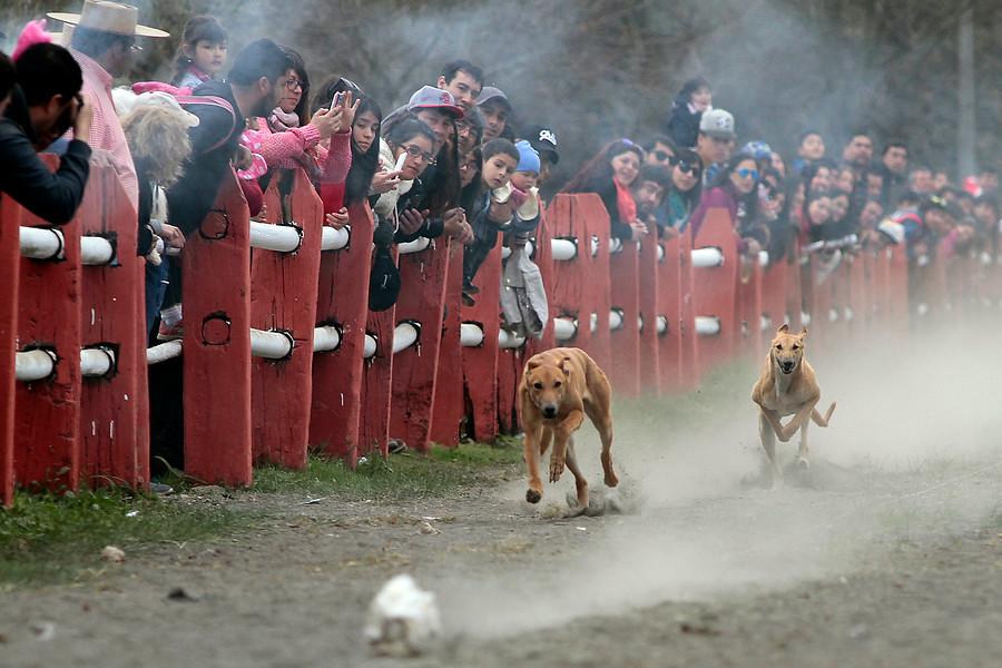 """""""Polémica por carreras de perros galgos en celebración de Fiestas Patrias en Ñuñoa"""""""