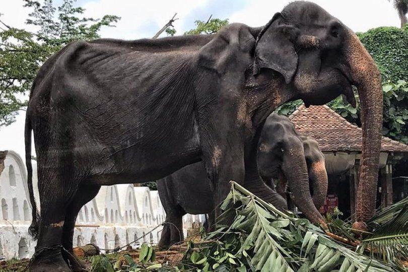 El deplorable estado de una elefante de 70 años en Sri Lanka