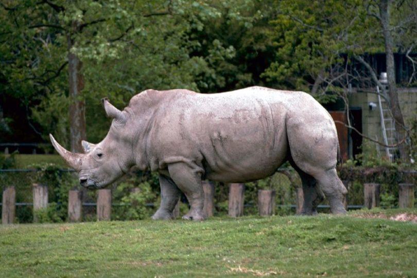 Indignación en Francia: visitantes de zoológico marcaron sus nombres en un rinoceronte