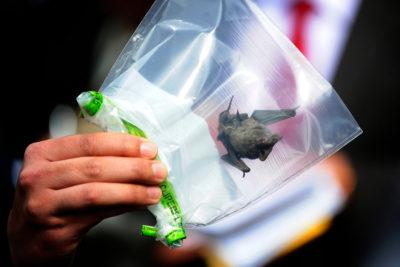 Seremi de Salud RM reportó 22 murciélagos infectados con rabia este año
