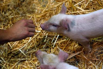 Más de mil animales mueren calcinados en incendio de bodega en Bulnes