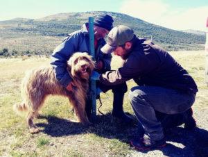 Perro ovejero patagón