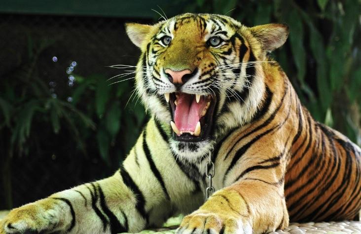 Tailandia: Fallecen decenas de tigres que fueron rescatados de un templo budista