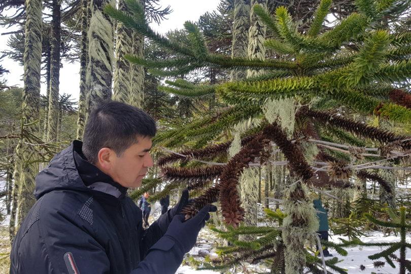 Investigadores de Bioforest descubren hongo que afecta a más del 80% de las Araucarias Araucanas del país